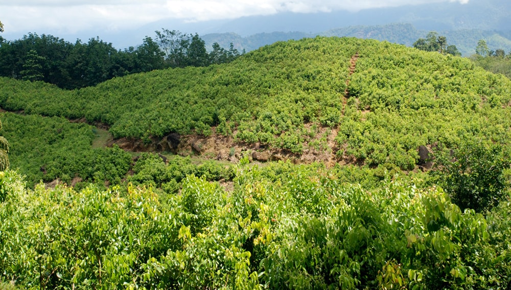 Ceylon Cinnamon growing areas in Sri Lanka -acriltea