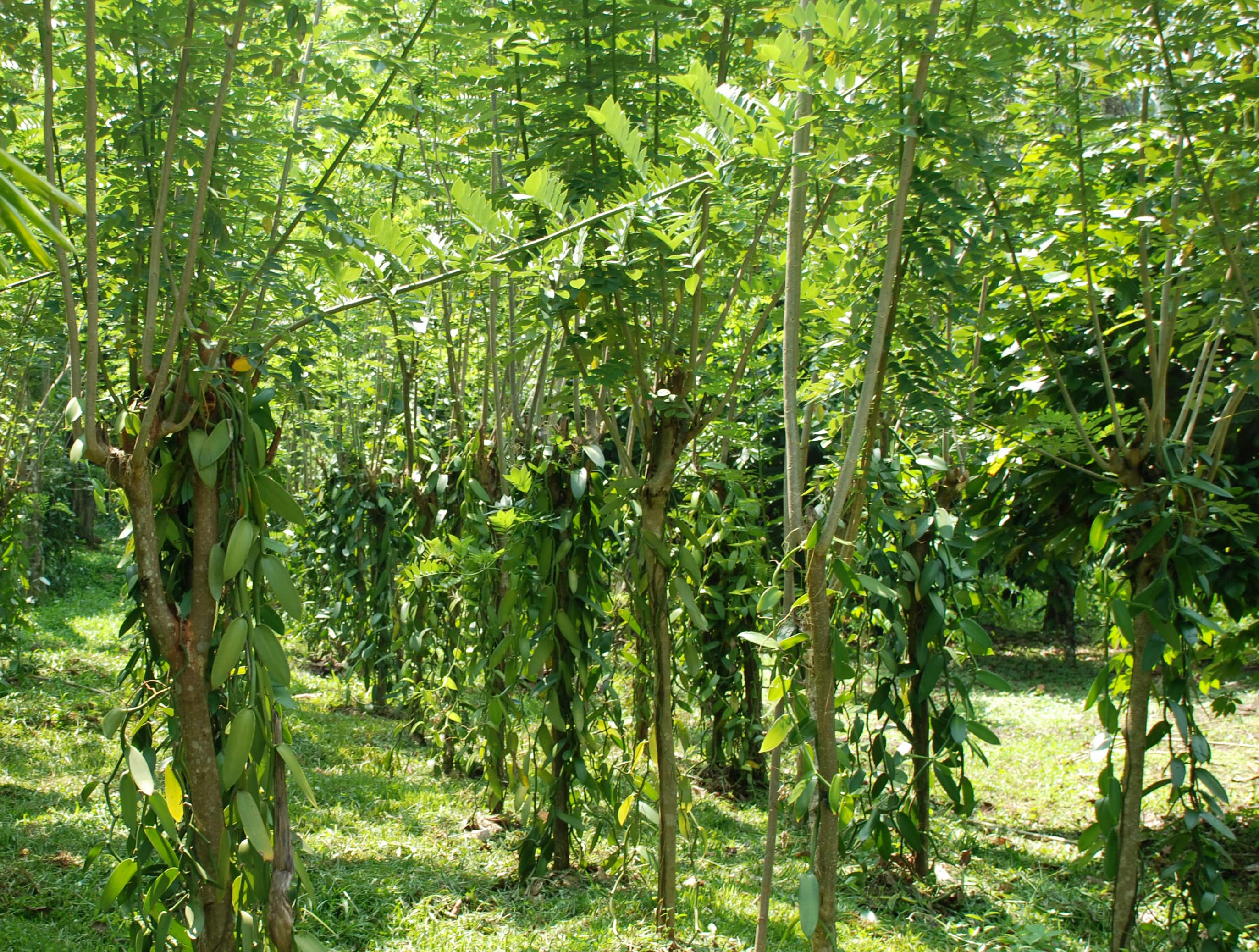 Vanila Cultivation-Sri-Lanka